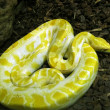 Burmese Python — Stock Photo