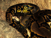 Asian Reticulated Python — Stock Photo