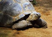 巨大的南非乌龟 bergskilpad — 图库照片