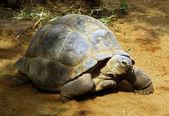 Enorme tortuga del africano del sur la bergskilpad — Foto de Stock