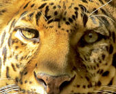 Close-up Leopard Face Front View — Stock Photo