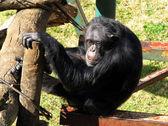 Sad Old Chimpanzee — Stock Photo