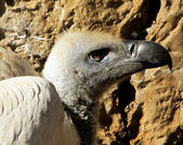 Close-up of African White Backed Vulture head — Stock Photo