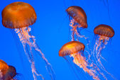 Chrysaora fuscescens jellyfish — Stock Photo