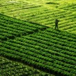 Agriculture Field — Stock Photo