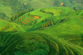 Chinese green rice field — Stock Photo