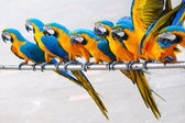 Parrot birds — Stock Photo