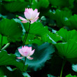 Two lotus flowers — Stock Photo