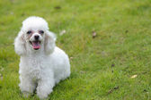 Toy poodle dog — Stock Photo