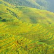 Stock Photo: Chinese green rice field