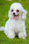 Toy poodle dog — Stock Photo
