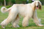 Afghan hound dog walking — Stock Photo