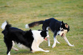 Two dogs playing together — Stock Photo