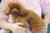 Llevando el perro caniche toy en brazos — Foto de Stock