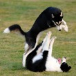 Stock Photo: Dogs playing