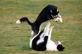 Dogs playing — Stock Photo