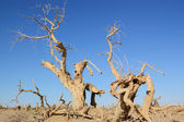 Dead trees — Stock Photo