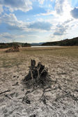 Dead tree root on dried field — Stock Photo
