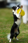 Border collie dog holding toy — Stock Photo
