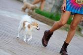 Papillon dog walking — Stock Photo