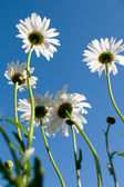 Under white daisy — Stock Photo
