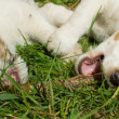 Two young dog playing in the grass — Stock Photo