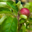 Red young apple on a branch - Stock Photo