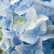 Fresh blue hydrangea - Stock Photo