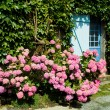 House with hydrangea — Stock Photo