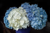 Hydrangea blue and white — Stock Photo