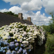 House with hydrangea in brittany - Stock Photo