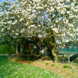 Magnolia in a garden in quimper — Stock Photo