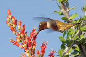 Male Blackchin Hummingbird feeding on Ocotillo Flowers — Fotografia Stock