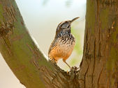 Cactus Wren perched in a tree fork — Stock Photo