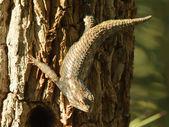 攀爬鬣鳞蜥 — 图库照片