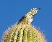 Singing Cactus Wren — Stock Photo