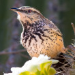 Cactus Wren feeding on a Saguaro Flower - Stock Photo