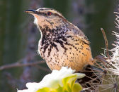 Cactus Wren feeding on a Saguaro Flower — Stock Photo