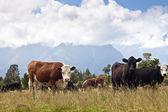 Выпас коров, Новая Зеландия — Стоковое фото