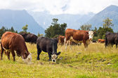 Grazing Cows - New Zealand — Stock Photo
