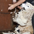 Sheep shearing — Stock Photo #5605757