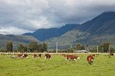 Grazing cows, New Zealand — Stock Photo