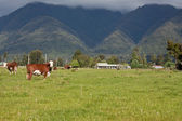 Grazing cows in New Zealand — Stock Photo