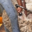Stock Photo: Sheep shearing
