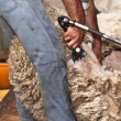 Sheep shearing - Stock Photo