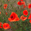 Stock Photo: Blooming poppies