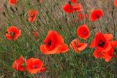 Çiçek haşhaş — Stok fotoğraf