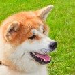 Akita Inu Japanese Dog — Stock Photo