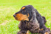 Dog Spaniel breed — Stock Photo