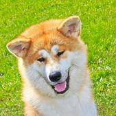 Akita Inu Japanese Dog smiles — Stock Photo